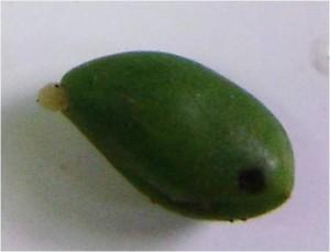 Oštećenje ploda šljive od osica šljive Phopo Branimir  Nježić
